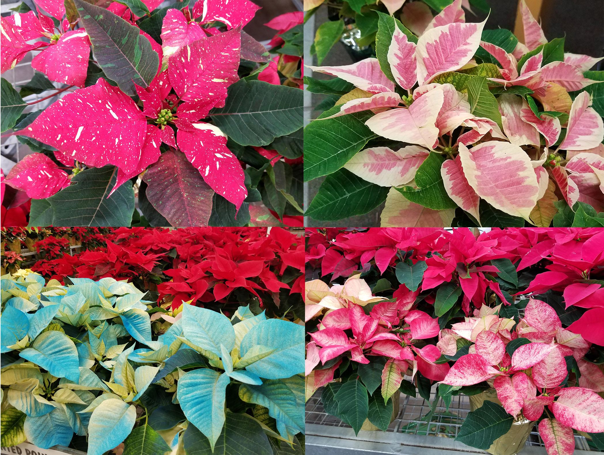 Growing And Caring For Poinsettia Umn