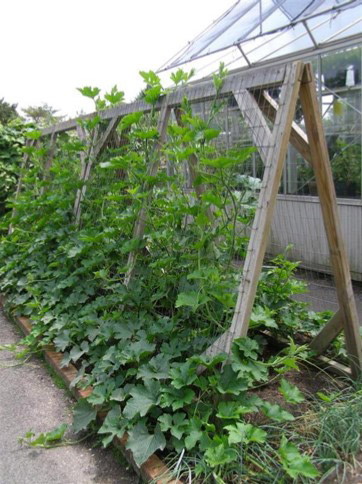 Vining plants on a trellis