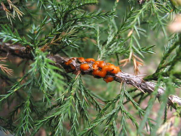 Cedar Apple Rust And Related Rust Diseases Umn Extension