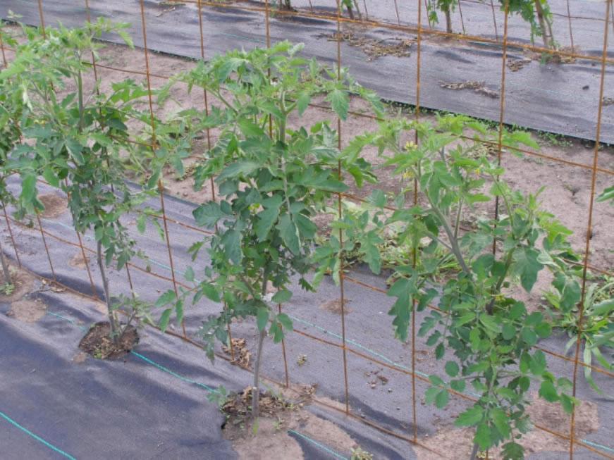 Vegetable plants with fabric-covered soil