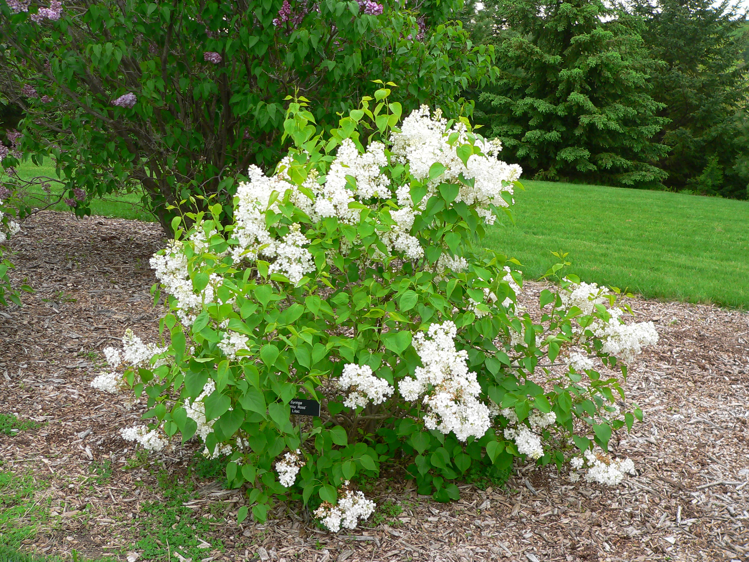 Growing Lilacs For Minnesota Landscapes Umn Extension