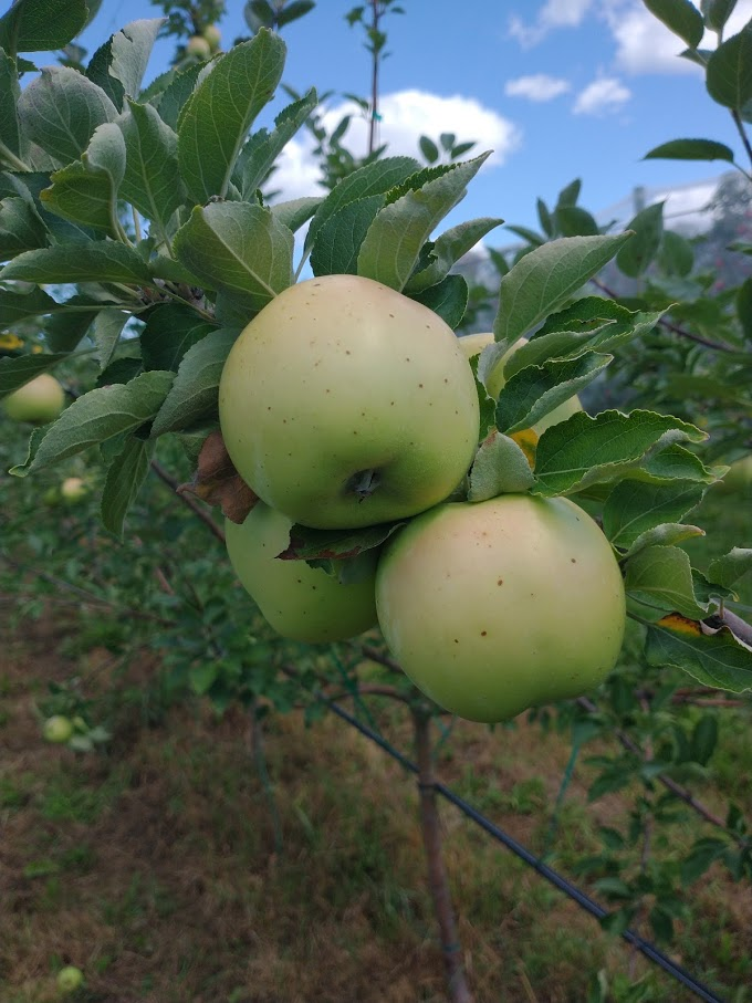 How can I identify the apples in my backyard? | UMN Extension