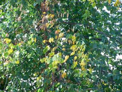 Yellow, wilting leaves on an elm