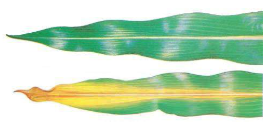 Colored drawing of two green corn leaves. One is green and the other is brown at the tip, yellow through the center and green on the outer edges.