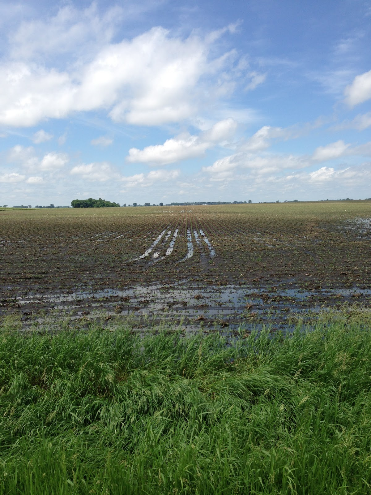 young farm crop with standing water in wheel tracks.