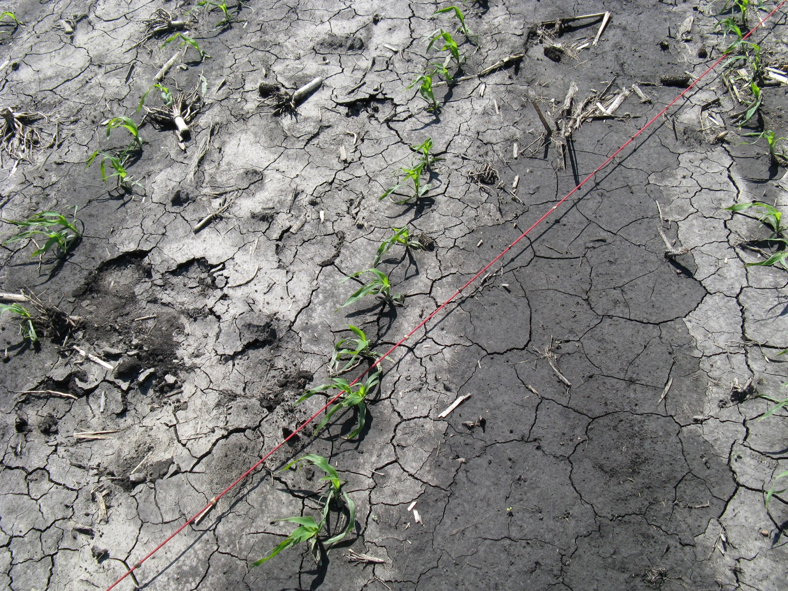 cracked soil with a few seedlings and wet areas low lying foot prints and wheel tracks.