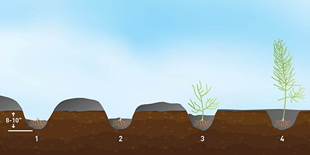 Illustration of asparagus furrows at different stages of plant growth, showing filling in with soil as the plant matures.