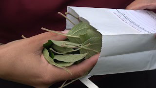 Person placing apple tree leaves in paper bag for testing