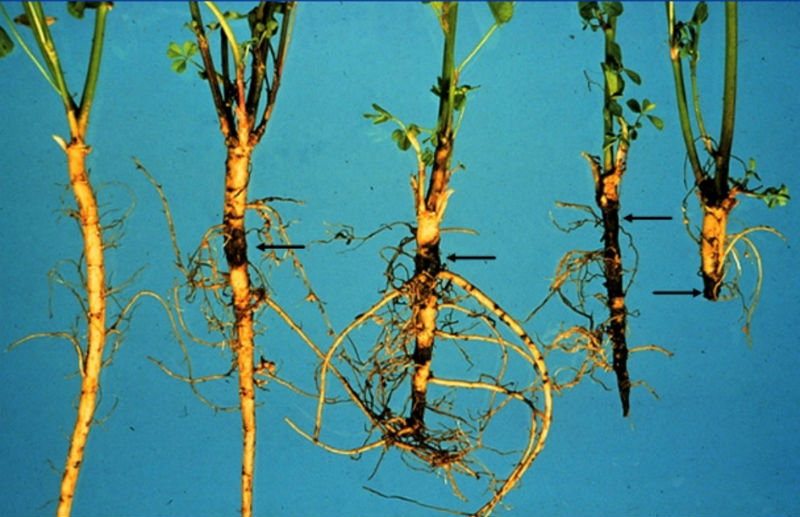 five alfalfa tap rots with dark sections of root rot.