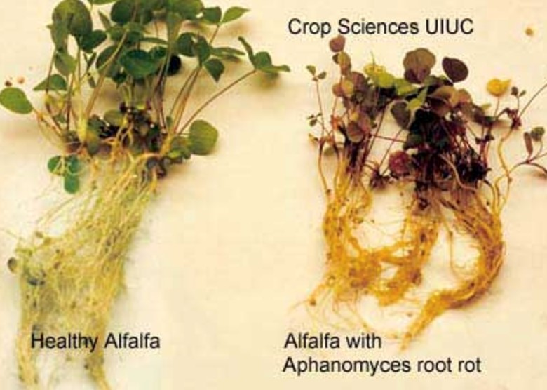 side-by-side healthy and diseased alfalfa plants.