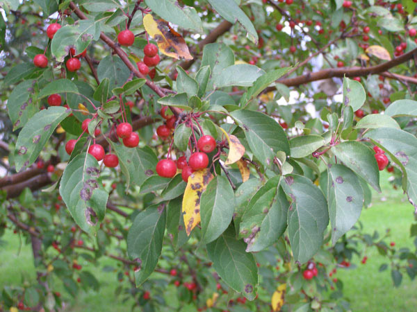 Apple scab of apples and crabapples | UMN Extension