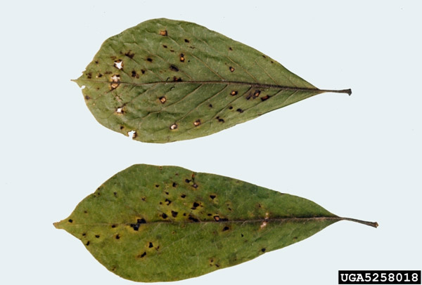 Leaf Spot Diseases Of Trees And Shrubs Umn Extension