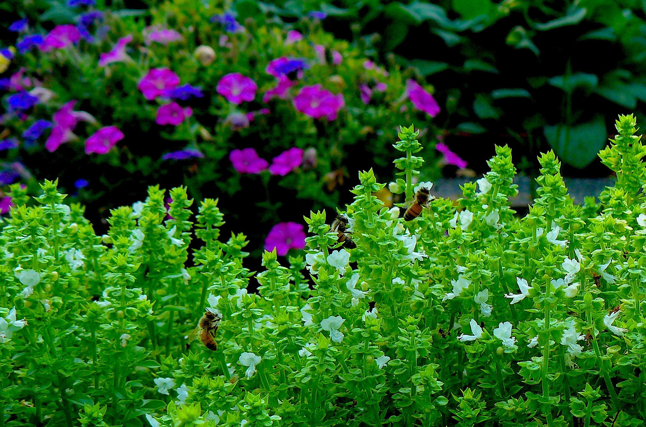 Two bees on white flowers of spicy globe Greek basil (Ocimum basilicum 'Minimum') with pink and purple petunias in the background.