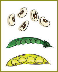 Illustration of vegetables in the bean family - dried black-eyed peas, green peas in the shell, lima beans in the shell