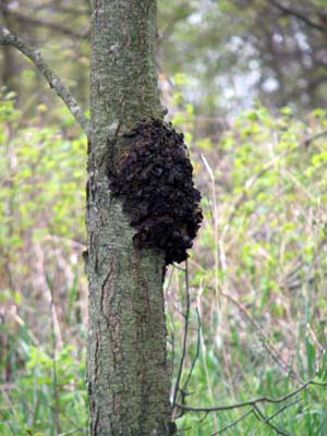 Tree trunk with large dark-colored bumpy mass
