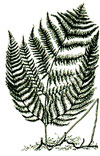 An illustration of a brackenfern