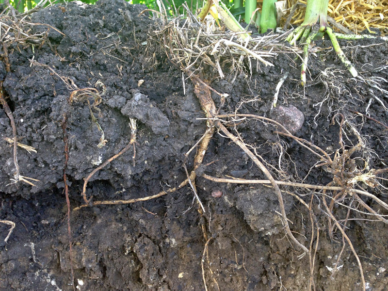 Side cut-a-way view of soil with cover crops roots exposed.