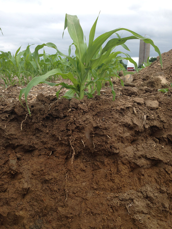 side view of soil that is reddish brown with corn growing from it.