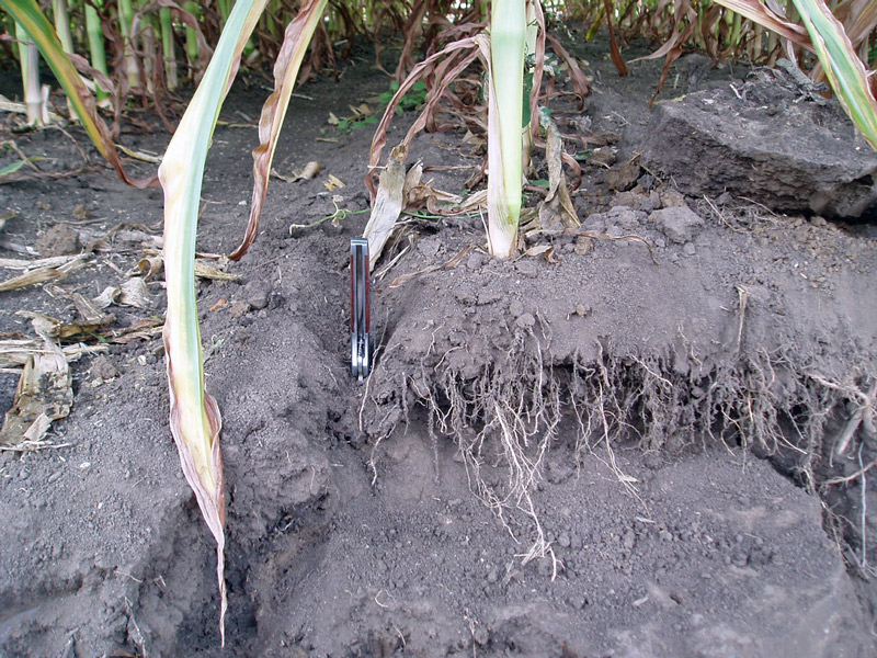 close up of corn roots in soil where roots only grew to a depth of 3 inches