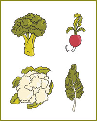 Illustration of vegetables in the cabbage family: broccoli, radish, cauliflower and kale