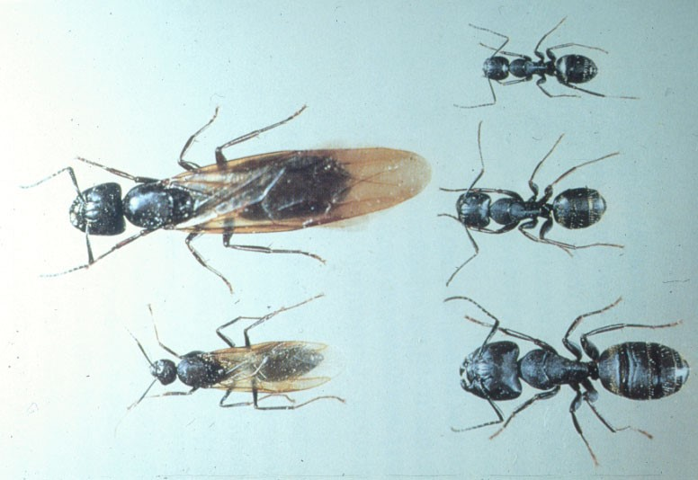 Carpenter Ants Umn Extension