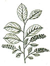 An illustration of a chokecherry plant