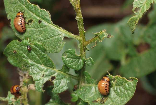 Colorado potato beetles | UMN Extension