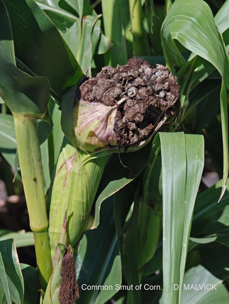 large brown growth covered with silk on ear of corn.