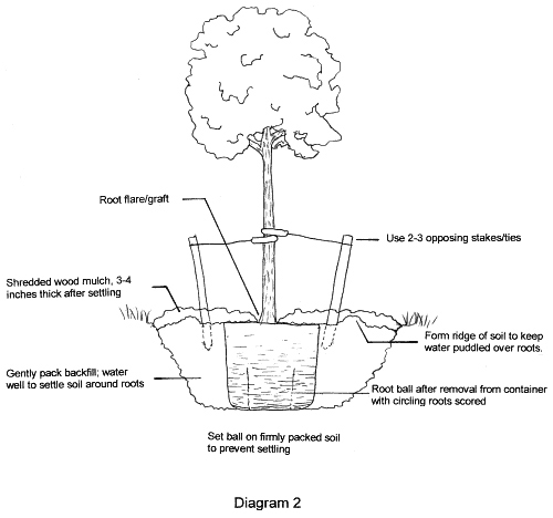 Black and white diagram showing steps for planting a containerized tree.