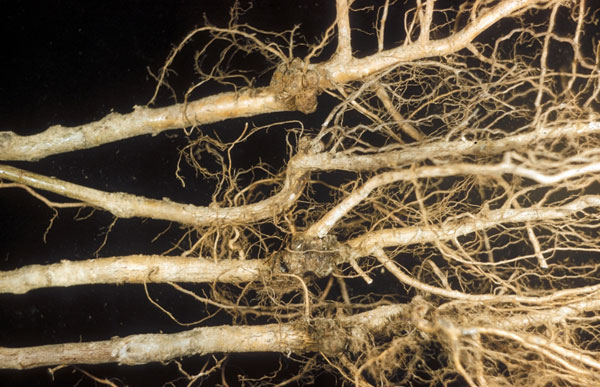 Yellowish roots with tiny brown tumor-like formations