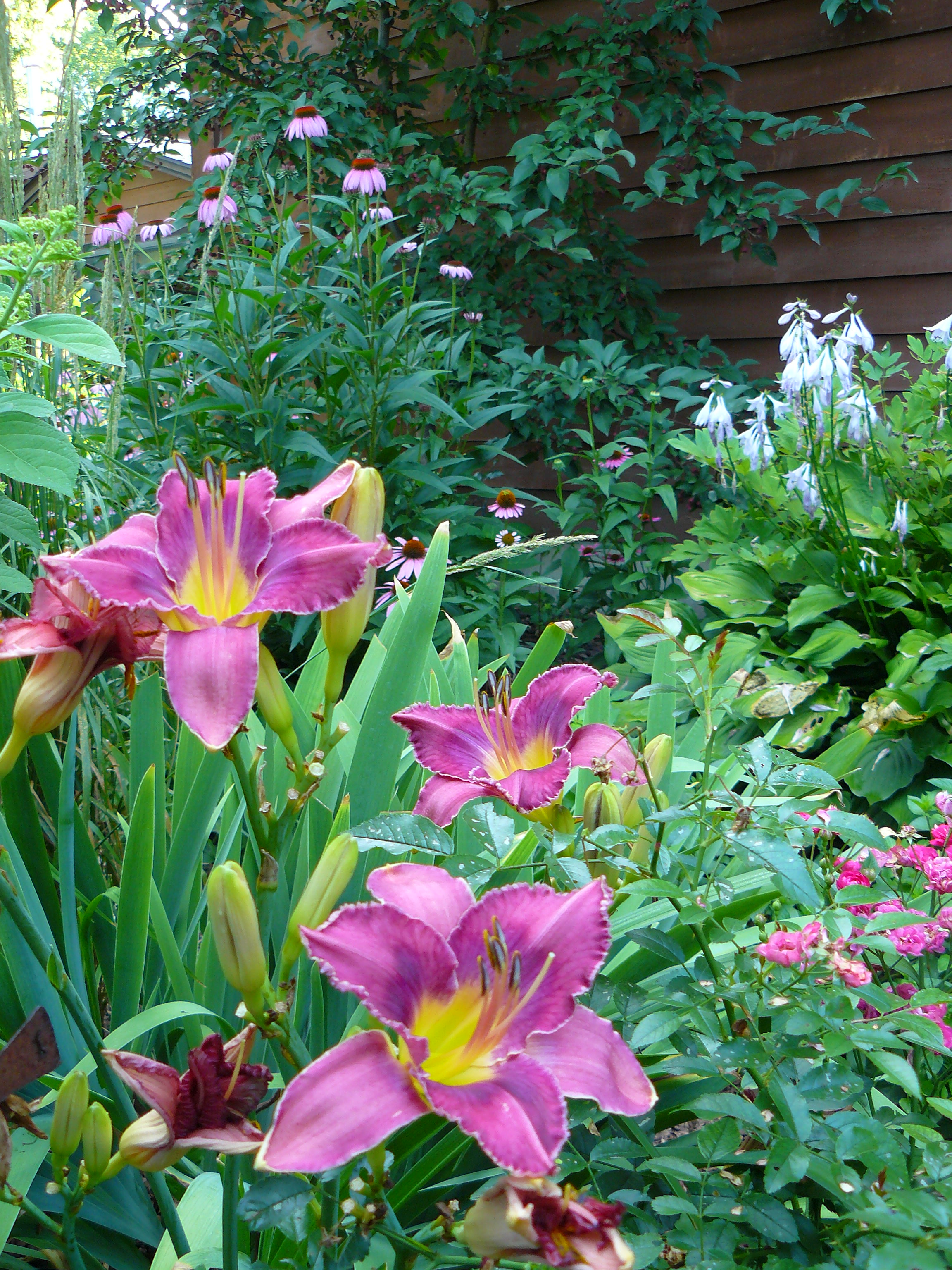 Daylilies in a home garden with other garden plants in the background
