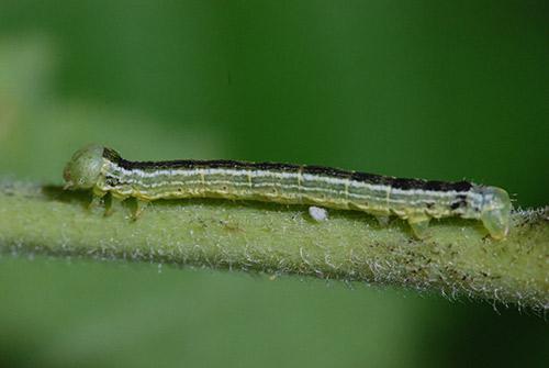Caterpillars On Ornamental Plants Umn Extension