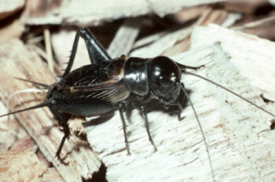 A black insect with long wings covering the body and long antennae