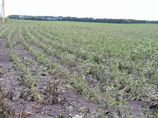 soybean crop with shredded leaves caused by hail.