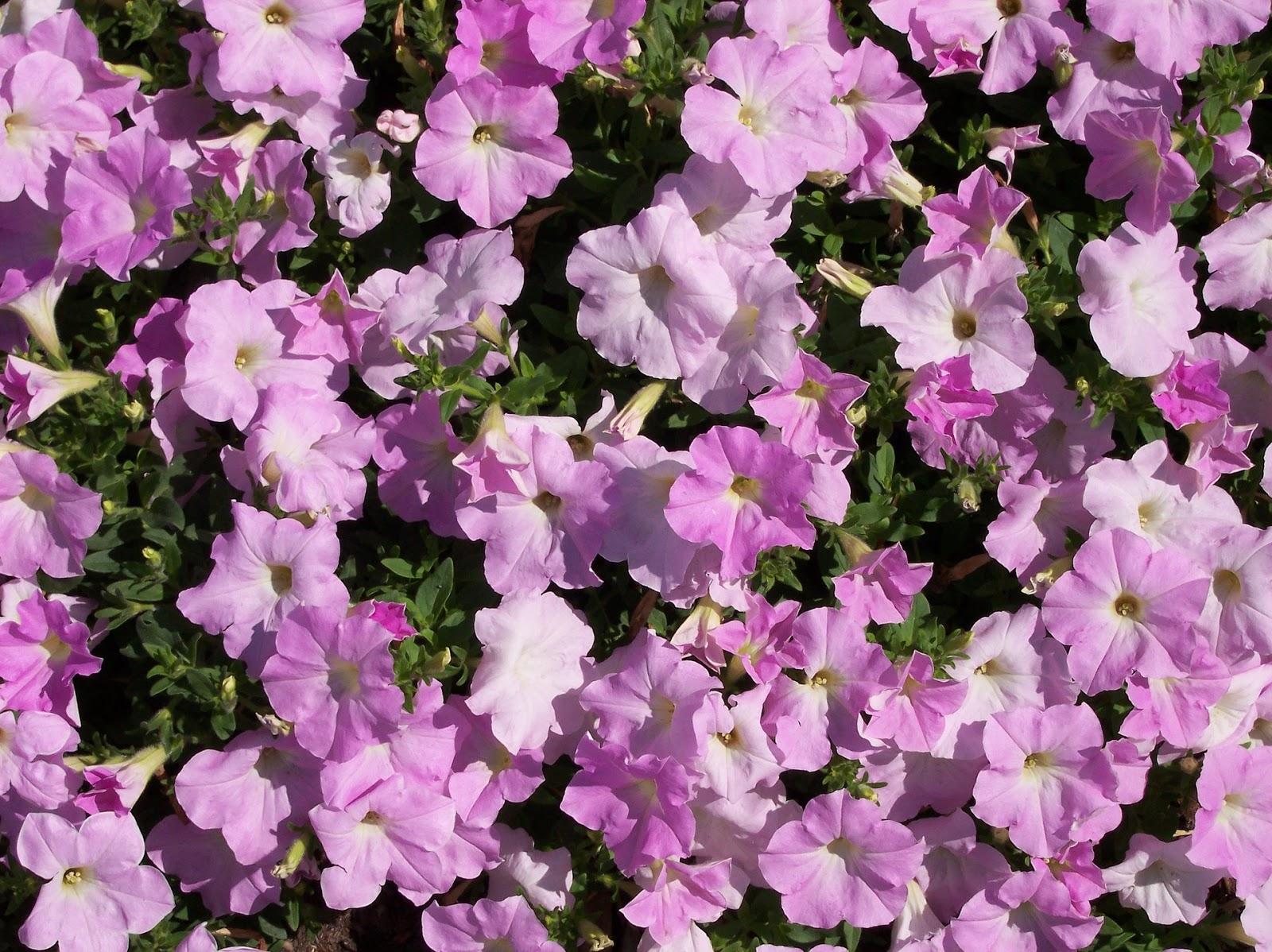 Growing petunias   UMN Extension