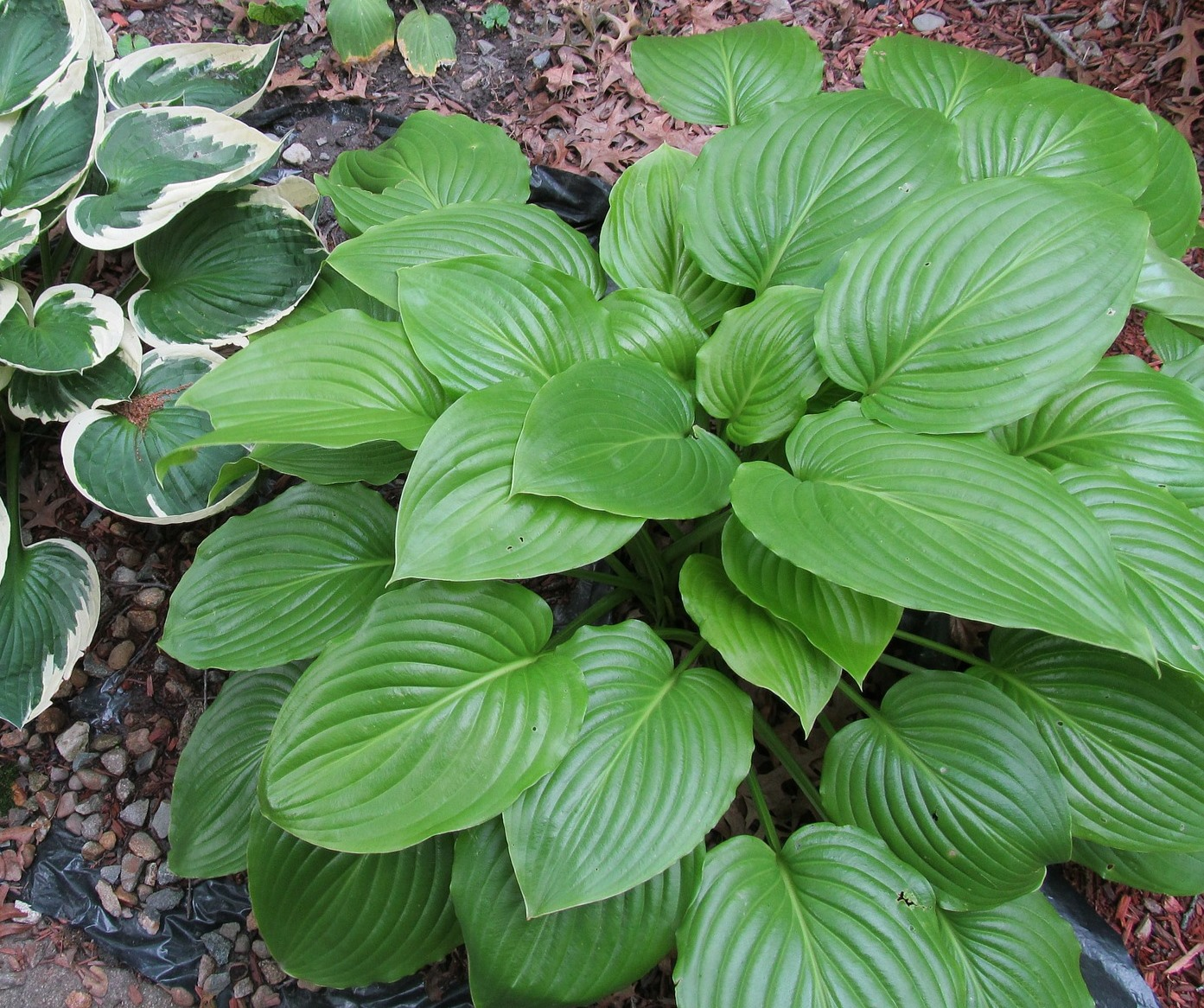 Hostas Umn Extension