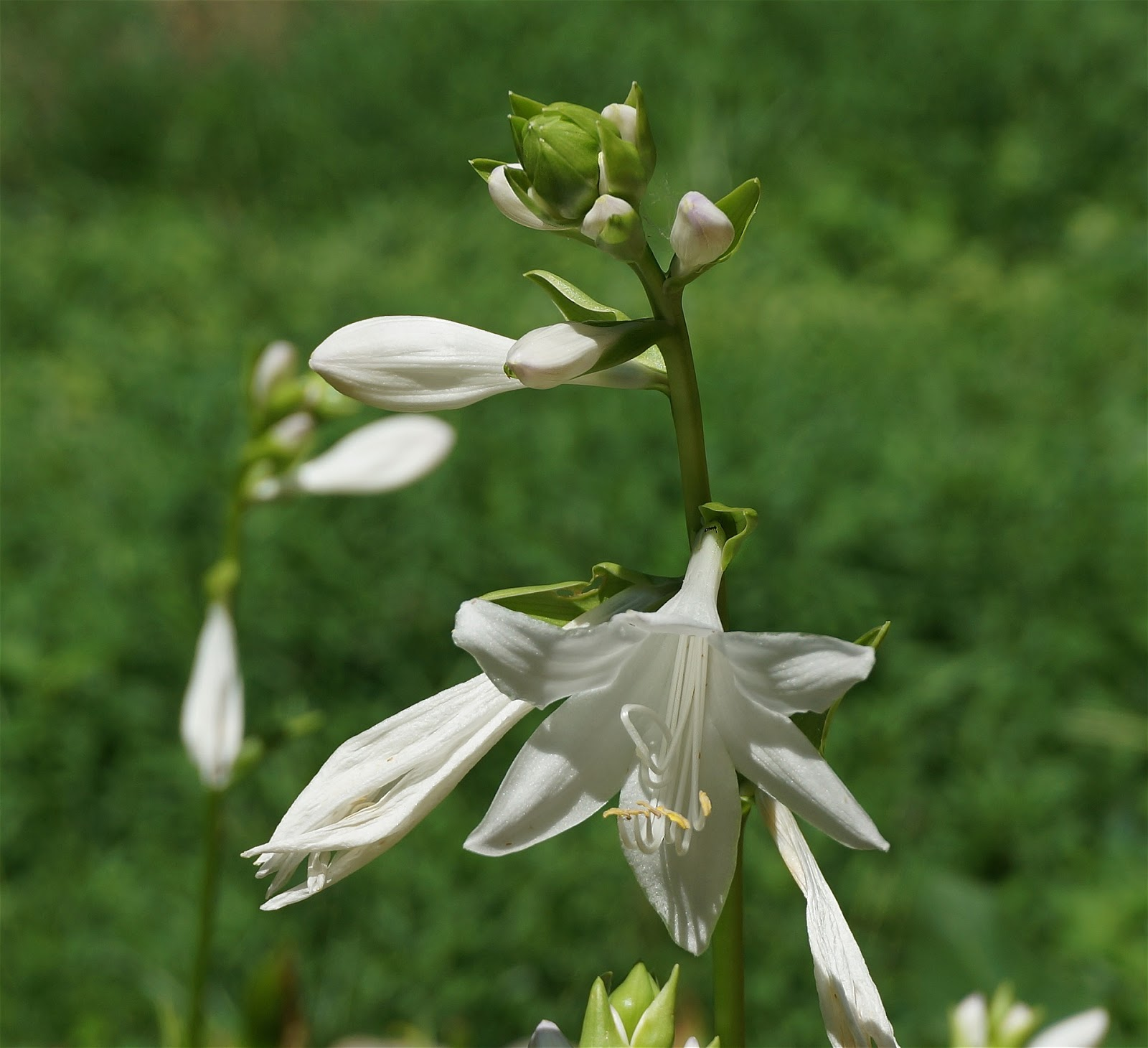 Hostas umn extension a long stem with many large white bell shaped flowers mightylinksfo