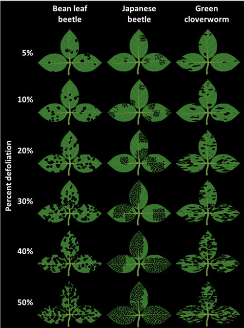 What different percentages of defoliation looks like from bean leaf beetle, Japanese beetle and green cloverworm.