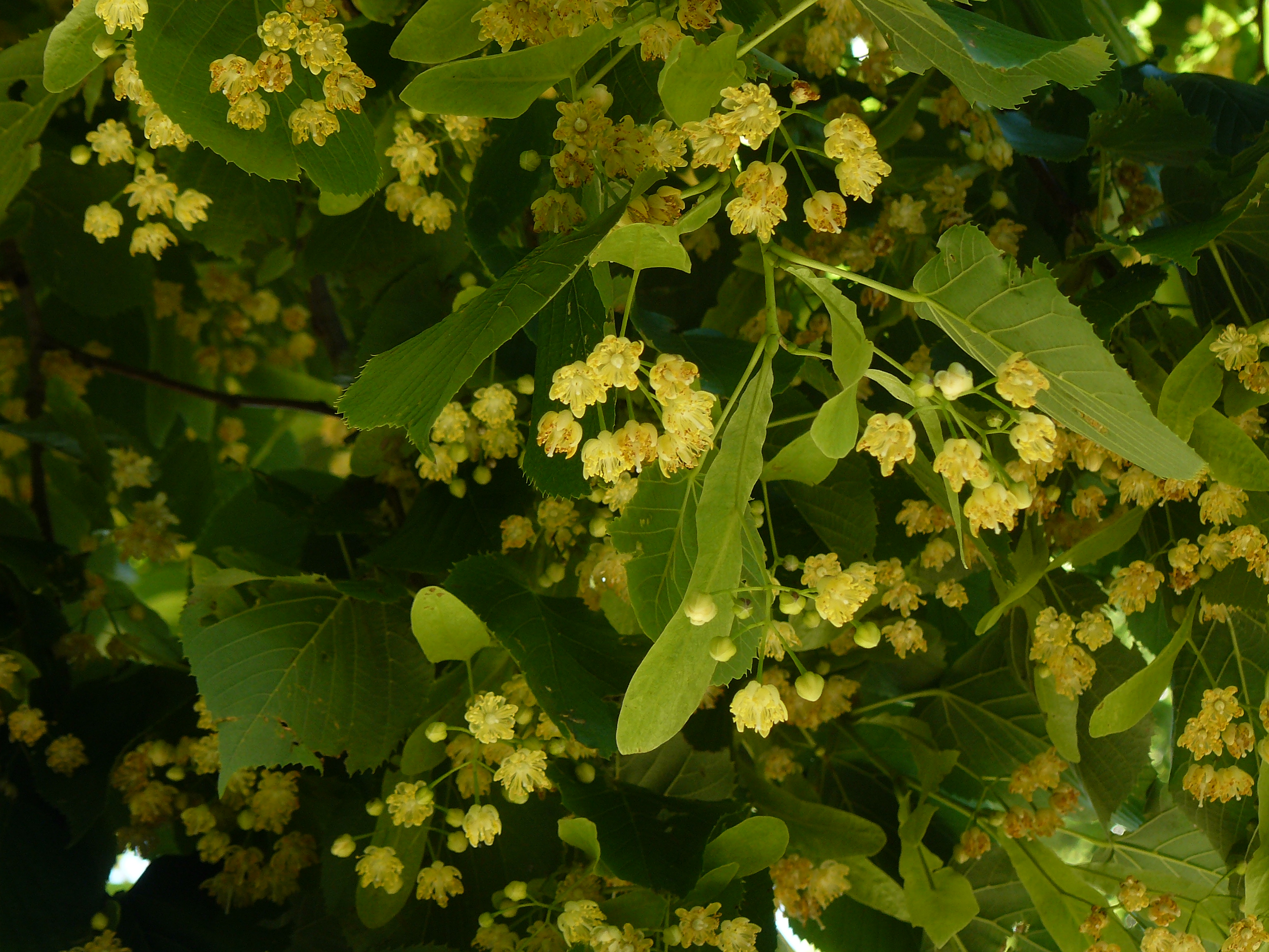 Creamy white, sweetly scented flowers of the Linden, a popular shade tree (Tilia spp.), with leaves and seed.
