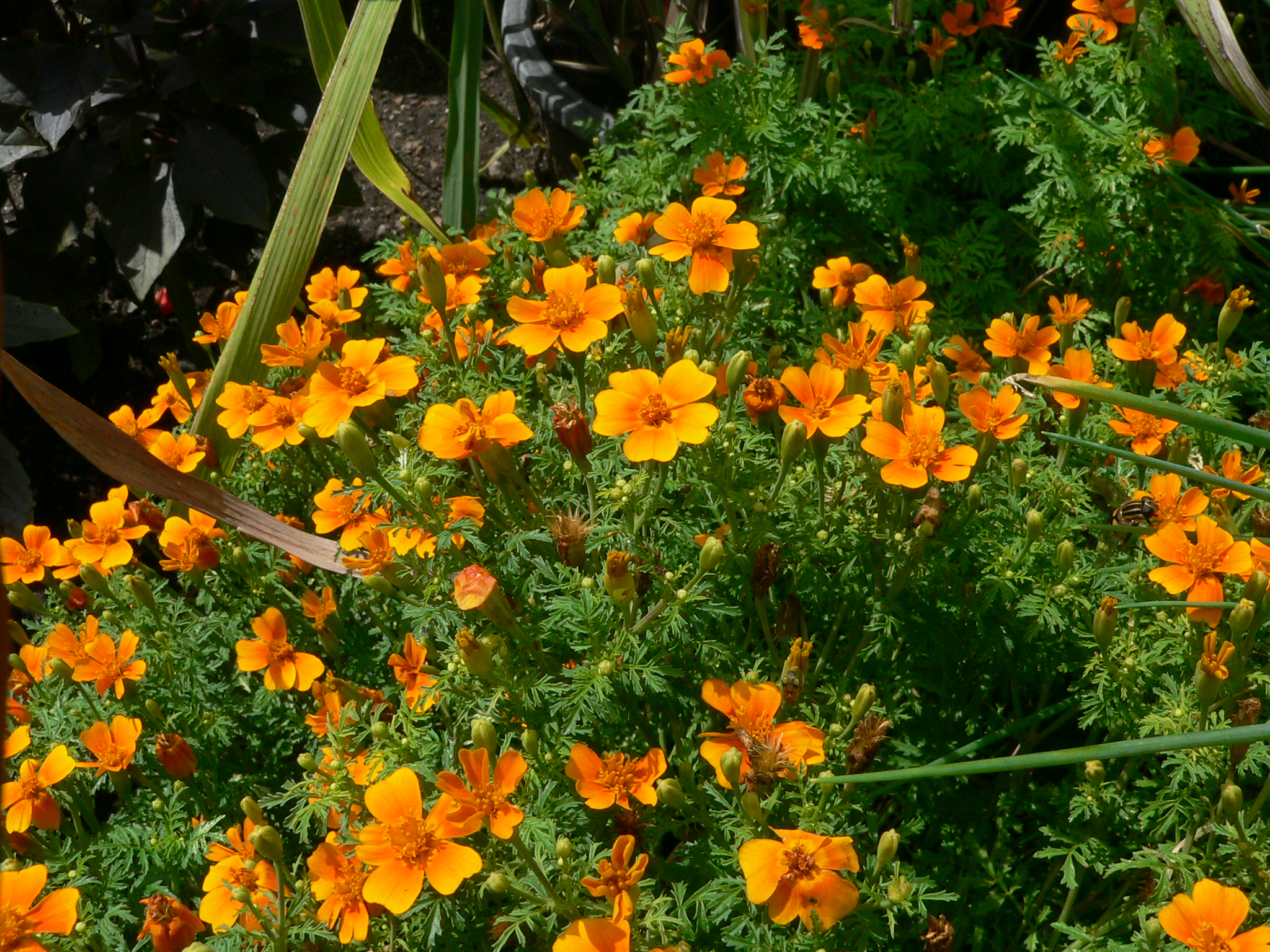 Orange flowers of the gem signet marigold