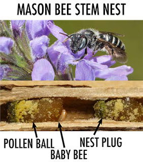Photo of mason bee on a flower over a stem nest with labels pointing out the pollen ball, baby bee and nest plug.