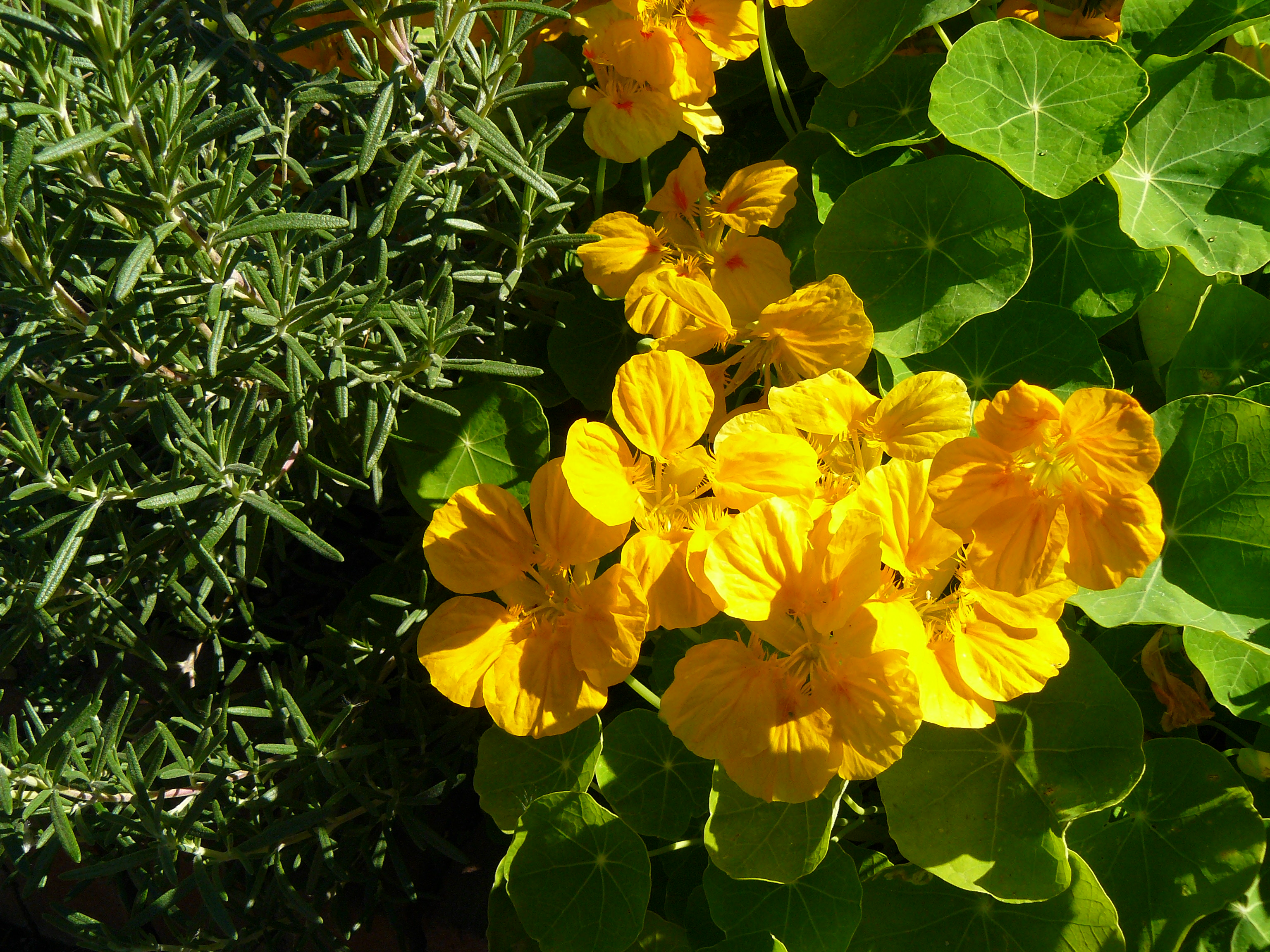 Rosemary planted next to bright gold flowers of 'Whirlybird Gold' nasturtium.