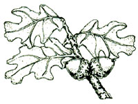 An illustration of an oak leaf