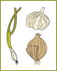 Illustration of vegetables in the onion family.