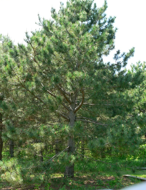 Large Red Pine tree on the edge of a pine plantation.