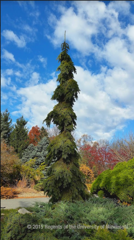 Tall narrow spruce tree with pendulous branches, a light green evergreen in the foreground and a variety of tree in fall colors and a bright blue sky in the background.