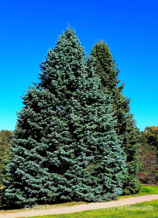 Large blue evergreen tree in front of another similar tree with a walking path and grass in front.