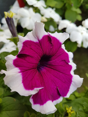 A Grandiflora petunia flower fuschia-colored center with white edge.