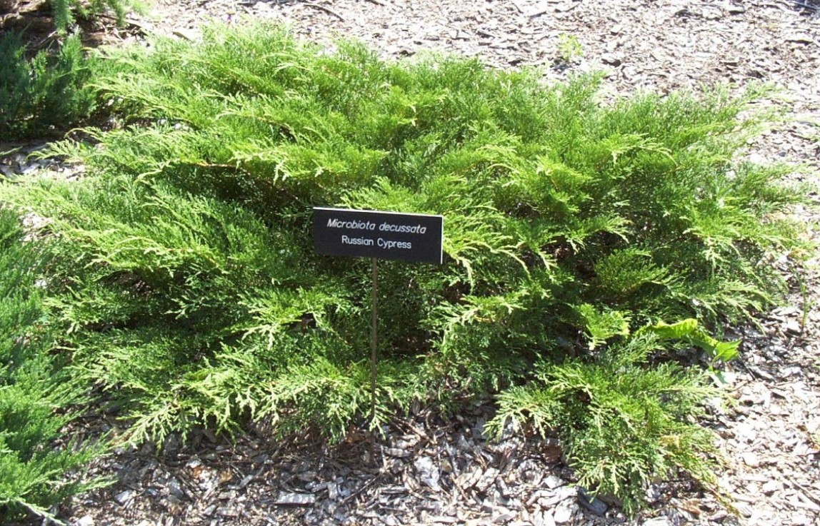 A low growing, spreading feathery Russian cypress evergreen in a mulched bed
