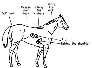 drawing of a horse with identifiers to use in assess body condition score.